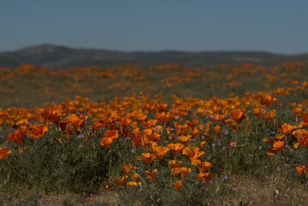 Poppy Flowers Lancaster